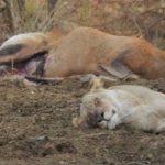 Una leona caza a una cierva preñada y parece arrepentirse