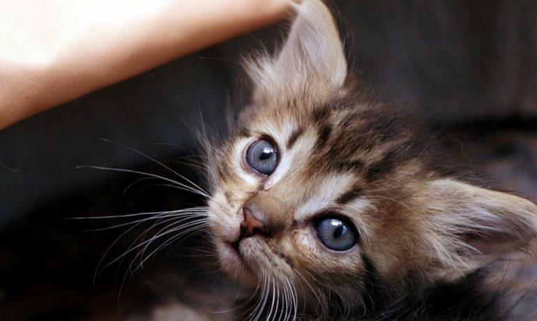 Ventajas de adoptar un gato cachorro