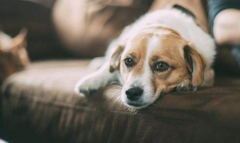 Ventajas de tener un perro mestizo