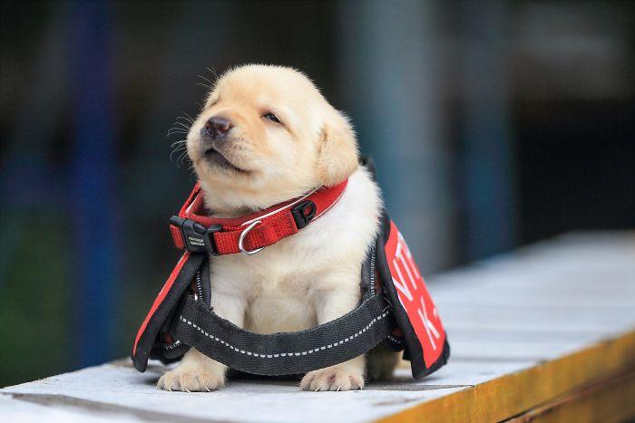 cachorros de perro policia