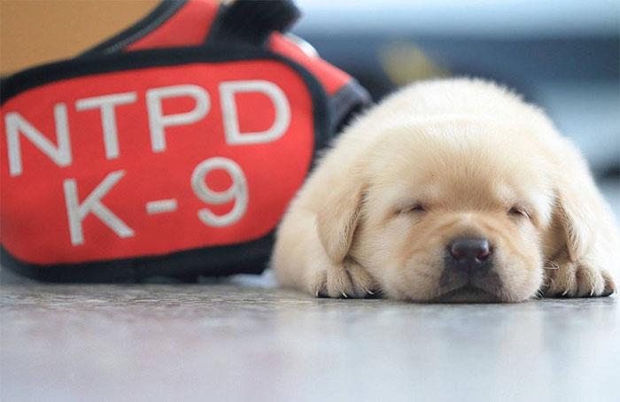 cachorros policia taiwan