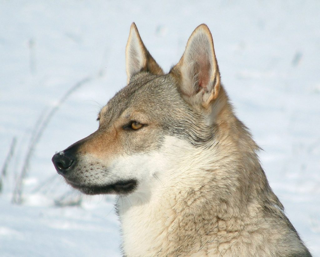 Cómo adiestrar a un perro lobo checoslovaco