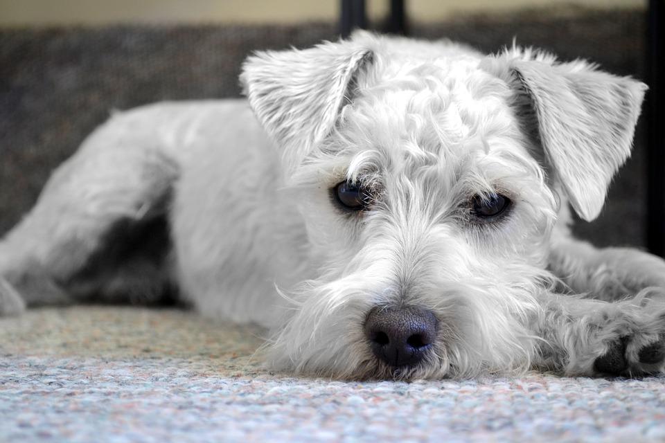 Cuidados para la insuficiencia cardíaca en perros