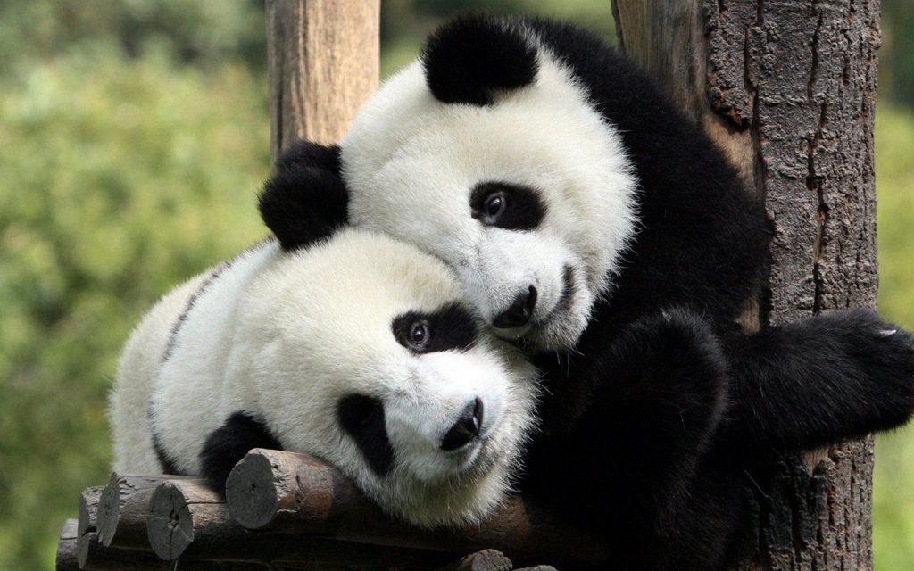 los pandas ya no están en peligro de extinción