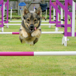 10 Consejos clave para practicar agility canino