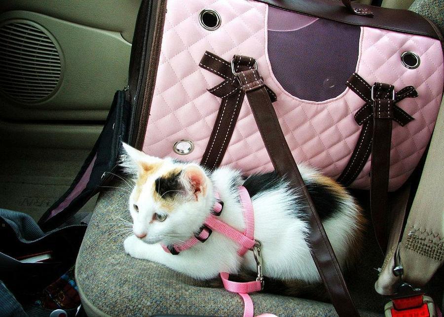 Acostumbrar a un gato a viajar en coche