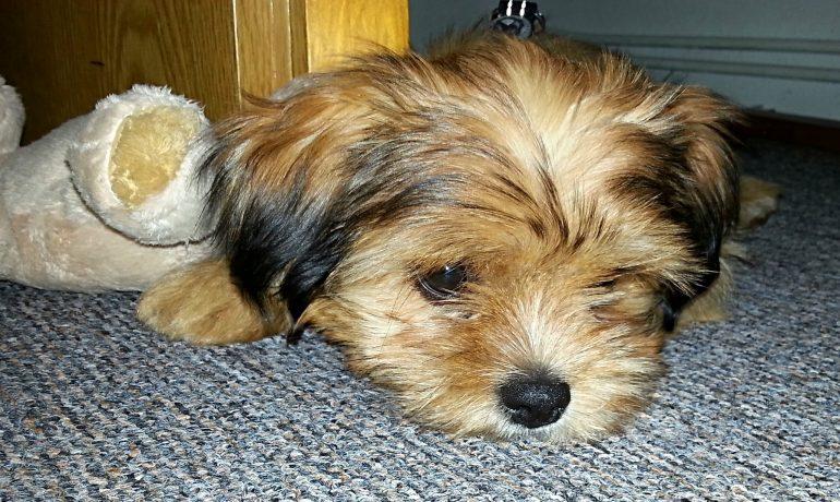 Alimentación y cuidados de un perro con anemia