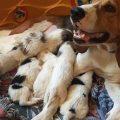 Alimentación y cuidados de una perra lactante