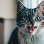 Así es el tratamiento de la leucemia felina