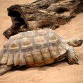 Así es la alimentación de la tortuga de tierra