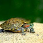 Así es la alimentación de las tortugas de agua