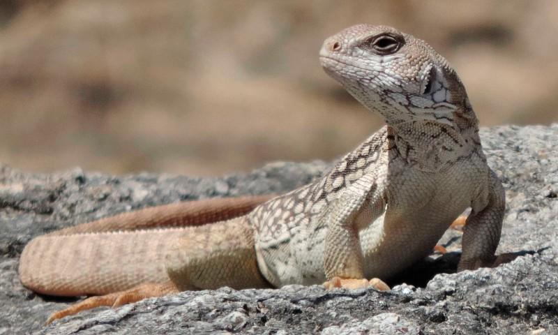 Así es la iguana del desierto