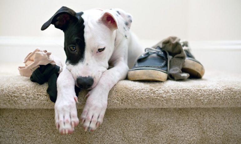 Ataques de pánico en perros