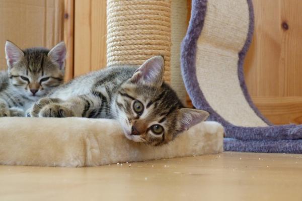 Cómo bajar la fiebre a un gato