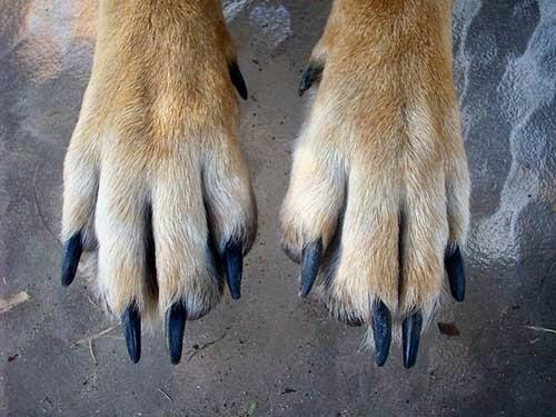 Cómo cortar las uñas a un perro