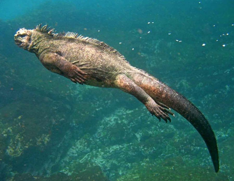 Cómo es la iguana marina de Galápagos