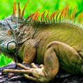 Cómo nacen las iguanas