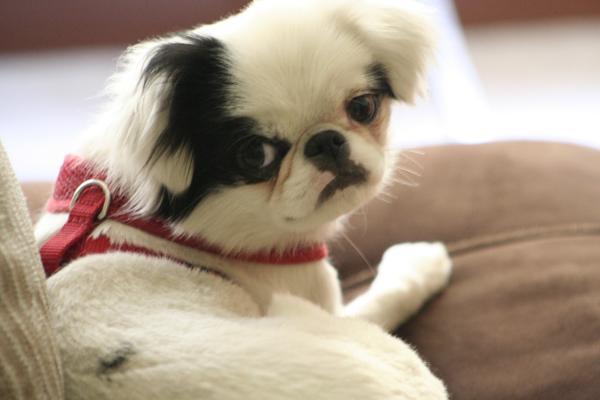 Cómo puedo saber si mi perro tiene sarna