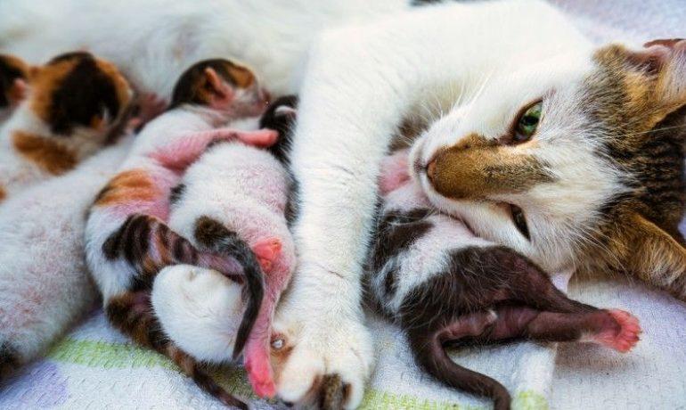 Cómo saber si una gata está embarazada