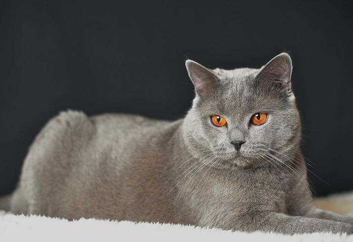 Carácter de la raza de gato cartujo