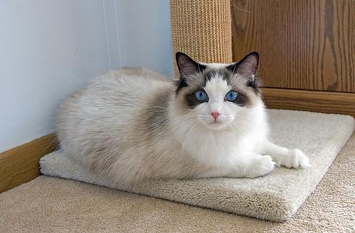 Carácter de la raza de gato ragdoll