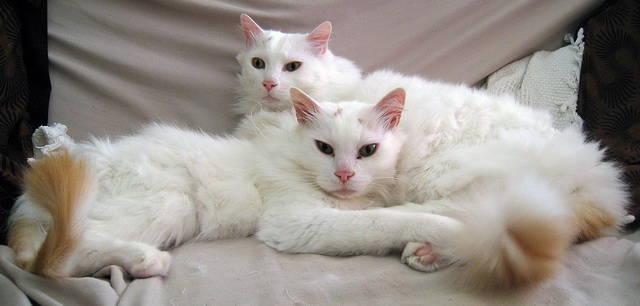 Carácter de la raza de gato van turco