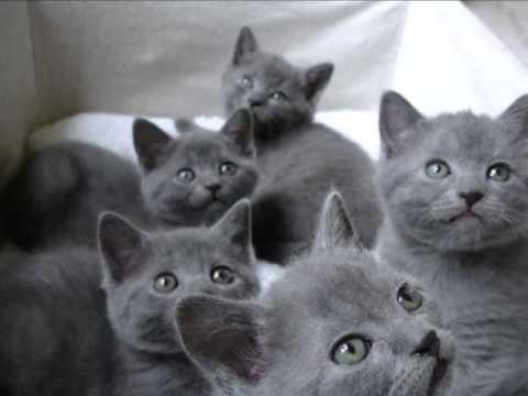 Características de la raza de gato cartujo