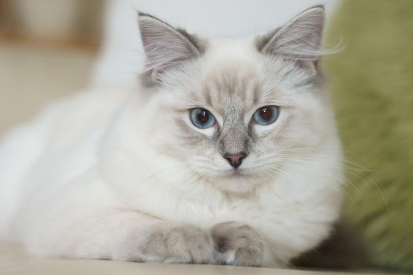 Características de la raza de gato ragdoll