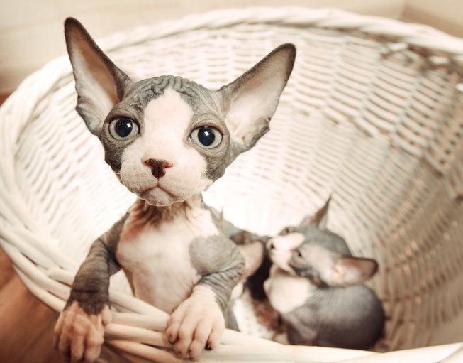 Características de la raza de gato sphynx