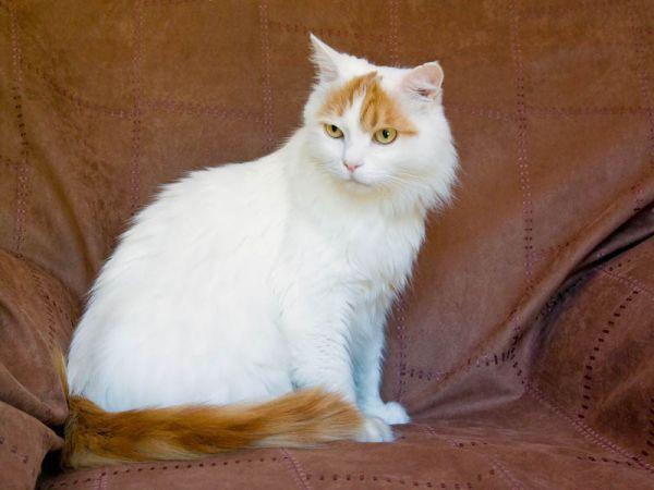 Características de raza de gato van turco