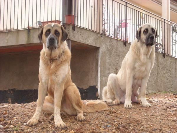 Características del perro mastín español