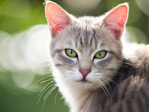 Causas de la gastroenteritis en gatos