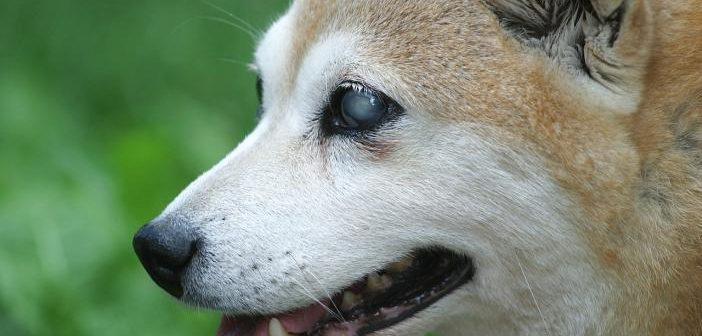 Como detectar la ceguera en perros