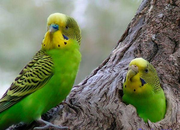 Como diferenciar a un periquito macho y a un periquito hembra