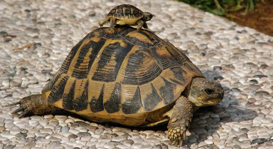 Consejos sobre la alimentación de la tortuga de tierra