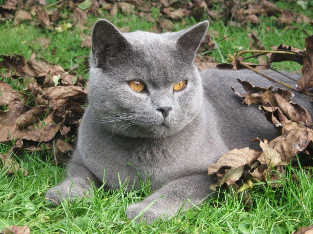 Cuidados de la raza de gato cartujo