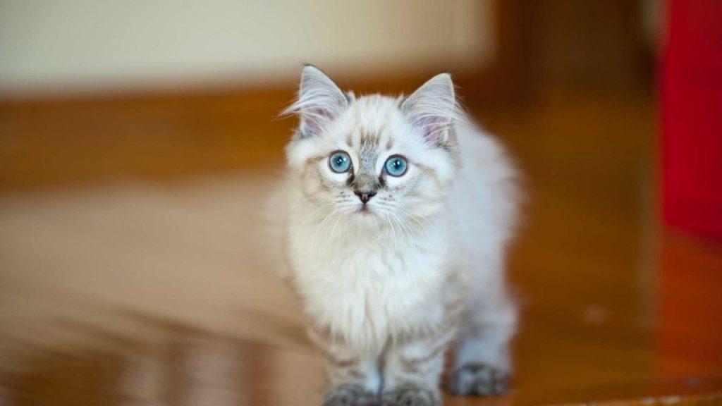 Cuidados de la raza de gato ragdoll