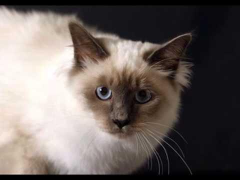 Cuidados de la raza de gato sagrado de Birmania