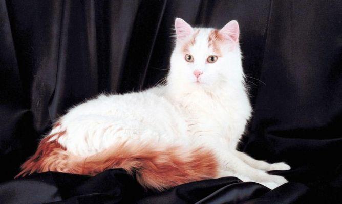 Cuidados de la raza de gato van turco