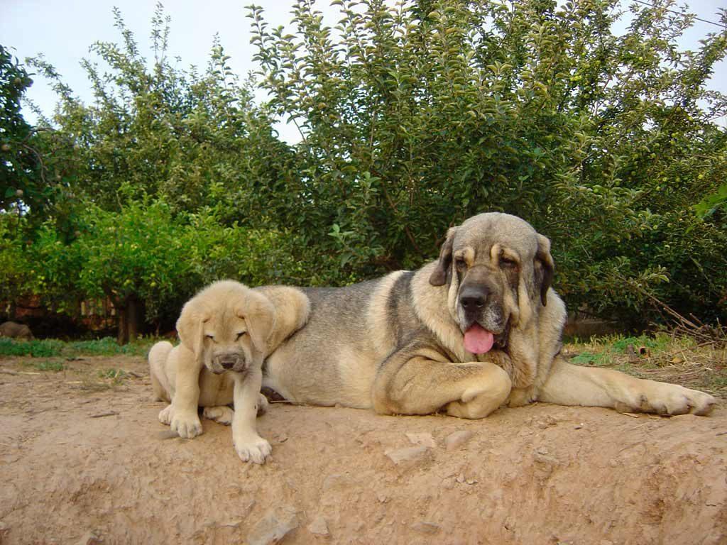 Cuidados de un perro mastín español