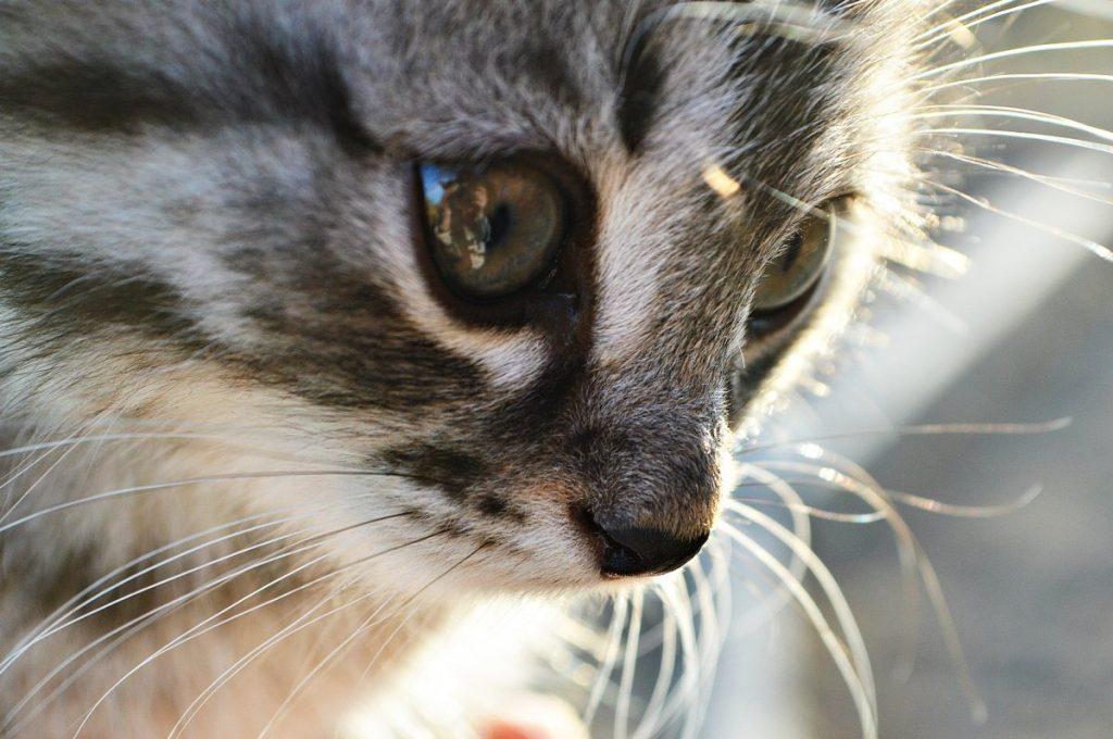 Cuidar a un gato con insuficiencia renal