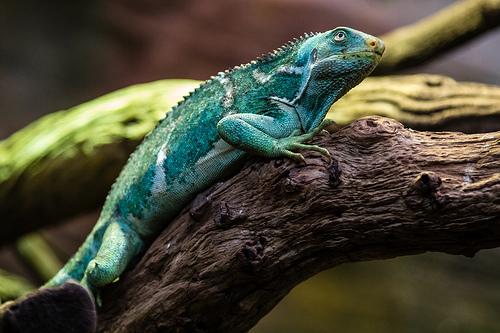 Dónde se encuentra la iguana crestada de Fiji
