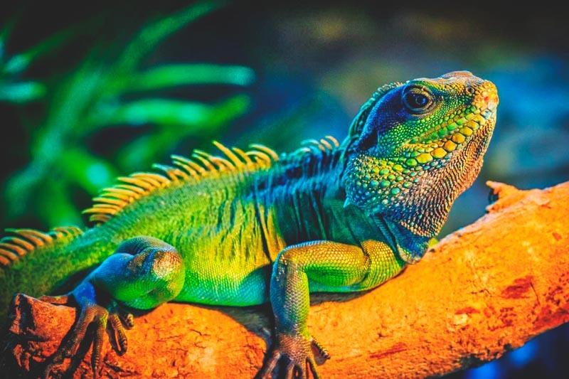 Dónde viven las iguanas