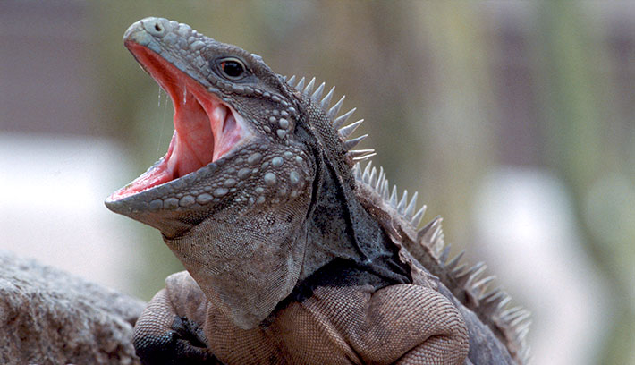 Dónde viven las iguanas marinas