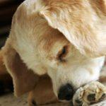 Dermatitis acral por lamido en perros