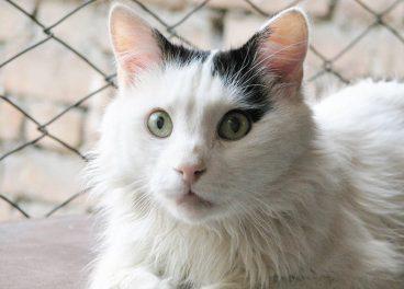 Descubre la antiquísima raza de gato van turco