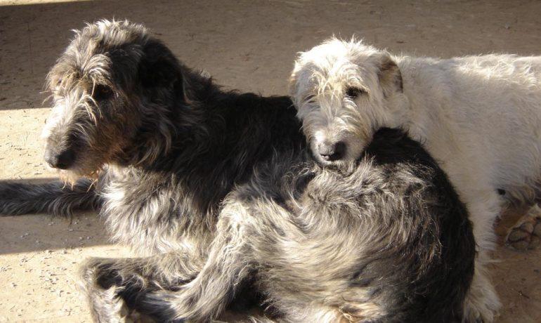 Descubre la raza de perro galgo wolfhound