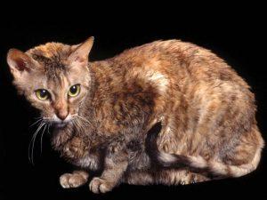Descubre la rizada raza de gato German rex