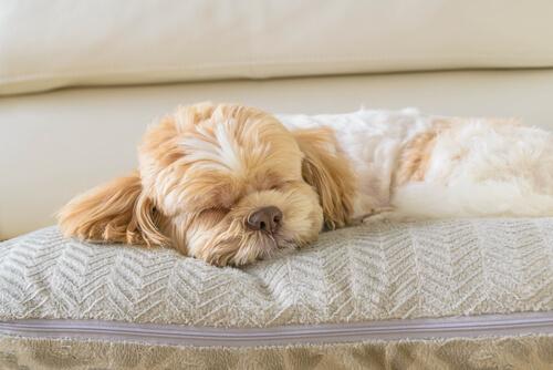 Diagnóstico de la cardiomiopatía hipertrófica en perros