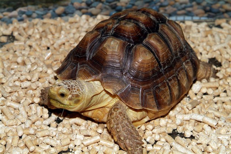 Enfermedades más comunes de las tortugas de tierra